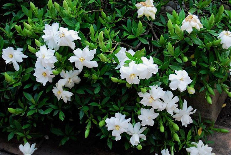 Hoa dành dành(hoa sơn chi – Gardenia)