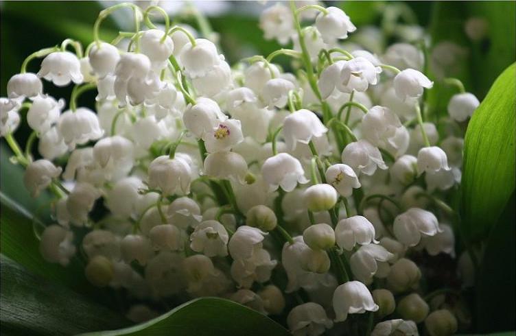 Linh lan ( hoa lan chuông )