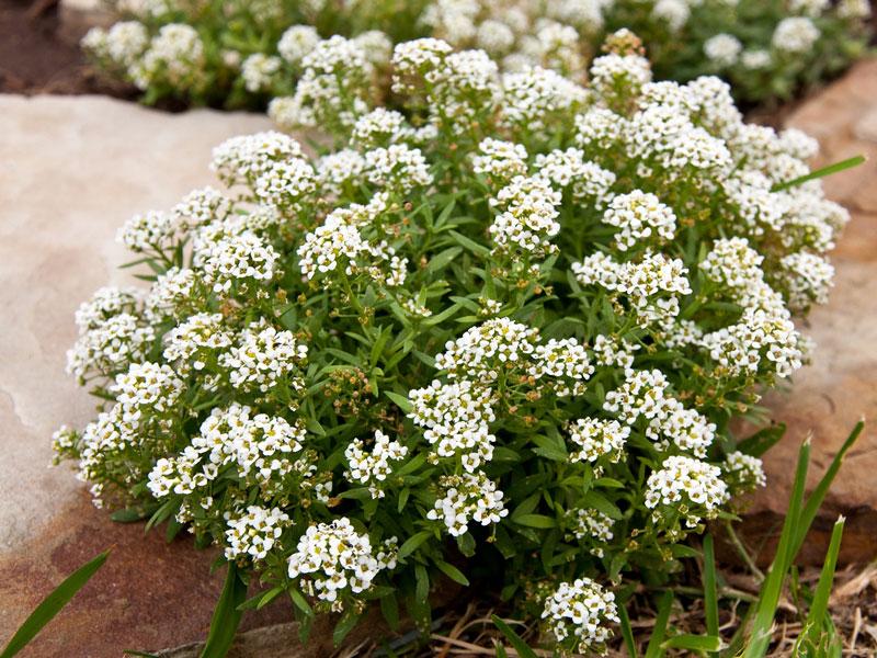 Hoa Lobularia Maritima ( Tuyết cầu )